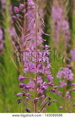 Rosebay Willowherb - Chaemerion angustifolium Single Flower Spike against defused flowers