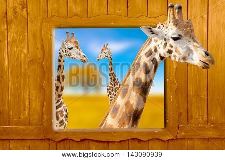 Giraffe in nature looking out the window,