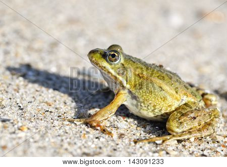 Toad on a sandy shore. Dreamy frog sitting on the sand