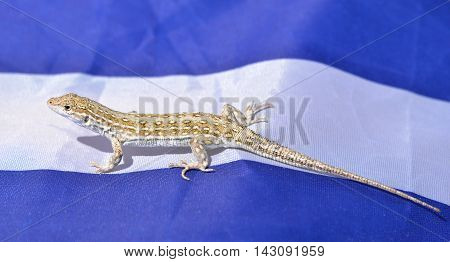Small lizard sitting on a blue and white fabric background. A funny cute lizard in the wild