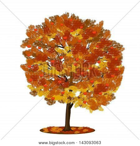 detached tree rowan with red and yellow leaves on a white background