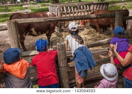 Children watch cattle (cows) on a farm in summer