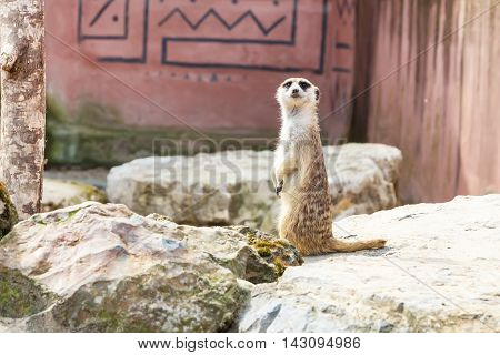 Cute funny meerkat standing on two paws and looking at camera