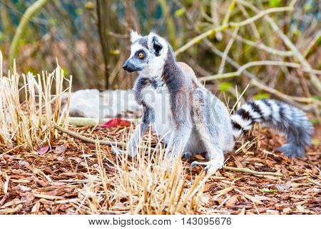 Ring-tailed lemur aka Lemur catta face close up with copy space