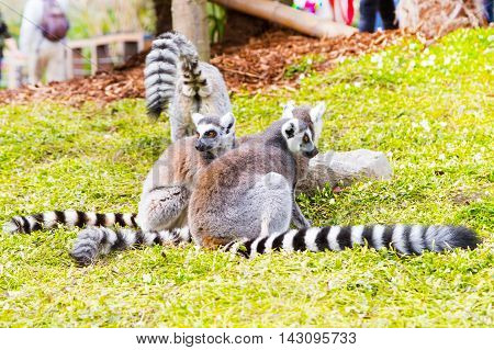 Funny sitting Ring-tailed lemur aka Lemur catta group close up