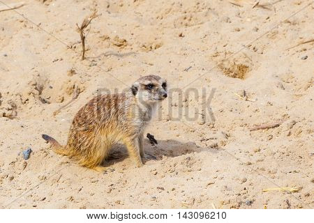 Cute funny meerkat sitting at the sand