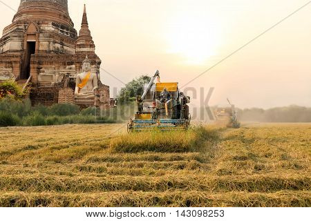 Unidentified man with Harvester machine to harvest rice field and big buddha in background in Thailand