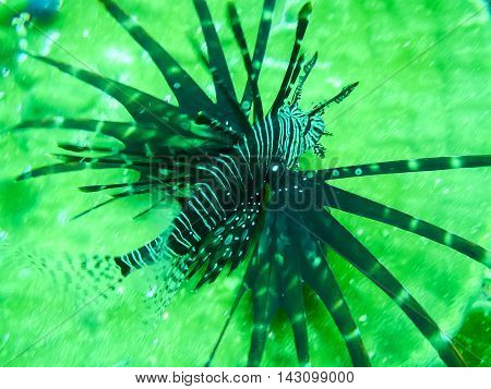 Red lionfish or Pterois volitans aquarium fish, a venomous coral reef fish on green