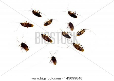 Group of dead ead cockroach isolated on white background
