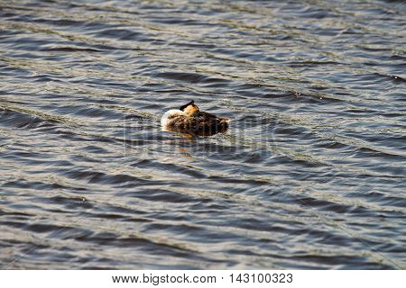 Sleeping Great Crested Grebe Floating On Water