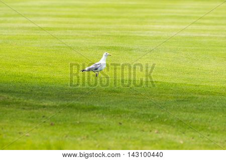 Herring Gull Standing On Grass Of Golf Course