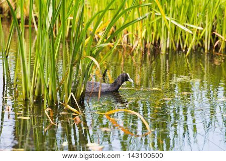 Coot swimming between the reed in summer