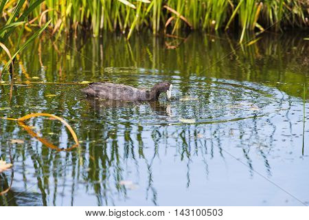 Coot Pulling Weed Out Of Water In Summer