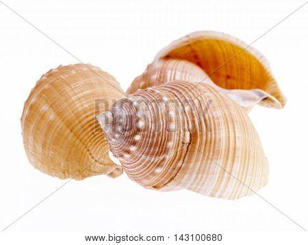 Sea shells of marine snails isolated on white background close up .