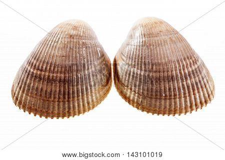Two sea shells of mollusk isolated on white background.