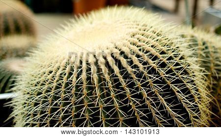Big Round Cactus With Yellow Thorns