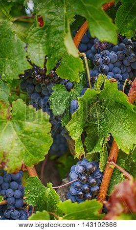 Wine, grapes, plant, natural, nature, black, rioja