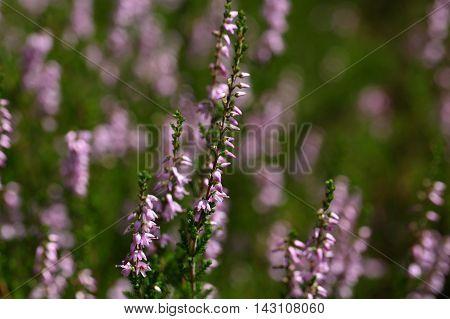 Flowers of the common heather (Calluna vulgaris)