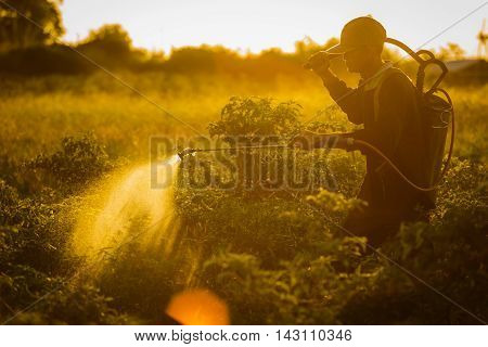 Farmers spraying accelerate flowering plants in the garden pepper sunset time.