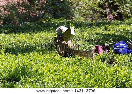 Coonoor , Tamil Nadu, India, March 22, 201 Unidentified woman collect tea from plantation