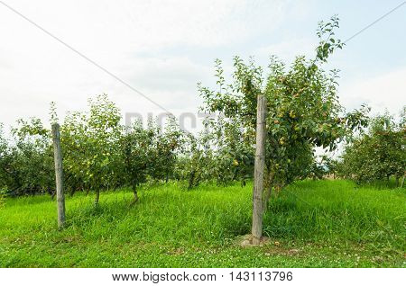 Apple Orchard View With Fruity Trees Outside
