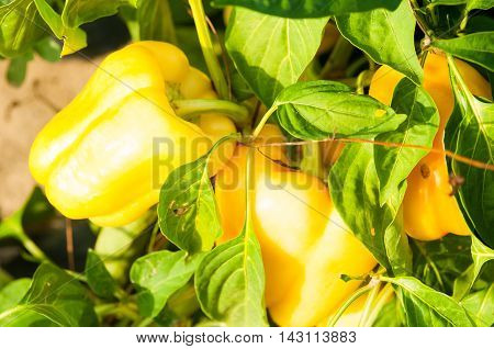 Close-up Of Yellow Peppers Growing  In Sunlight
