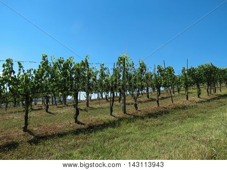 Grapevine in the area of Chianti for producing red wine
