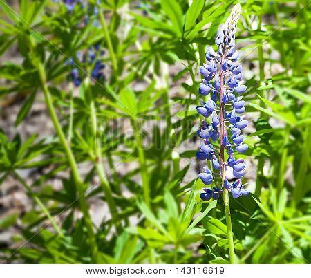 Delphinium Candle Delphiniumone beautiful blue flower macro