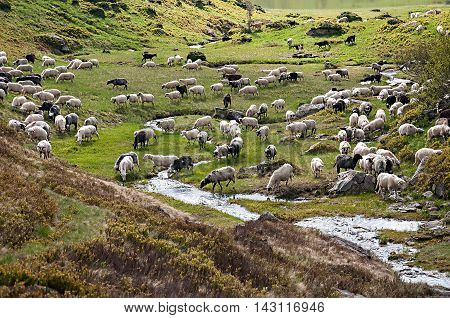 flock of sheep grazing on a hillside in Karpatian mountains