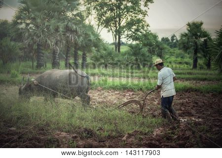 Farmer plowing with water buffalo in Thailand
