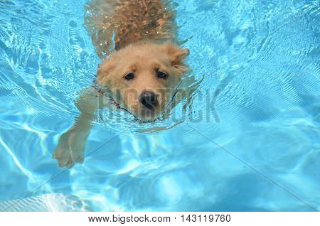 Adorable golden retriever swimming in a pool.
