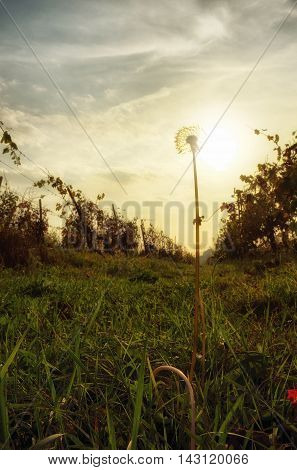 landscape with Dandelion in the field at sunset