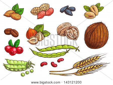 Nuts, grain, kernels and berries. Isolated sketch icons of plants seeds. Vector elements of wheat, almond, coffee beans, pea pod, bean, pistachio, coconut, sunflower seeds, peanut hazelnut walnut berries