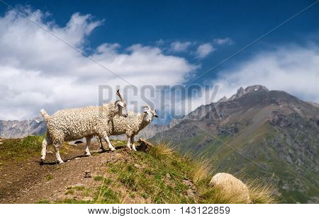 Sheeps in mountain valley. Animals in nature