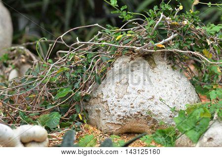 Rock-like Elephant Foot Plant