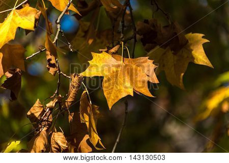 Autumn yellow canadian maple leaves background. Bright fall foliage. Selective focus and shallow DOF