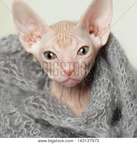 Small hairless cat with big eyes closeup on gray background