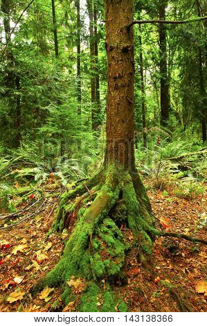 a picture of an exterior Pacific Northwest second growth  Hemlock tree