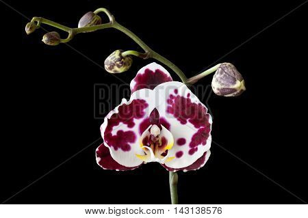 purple Orchid flower Phalaenopsis butterfly on a black background