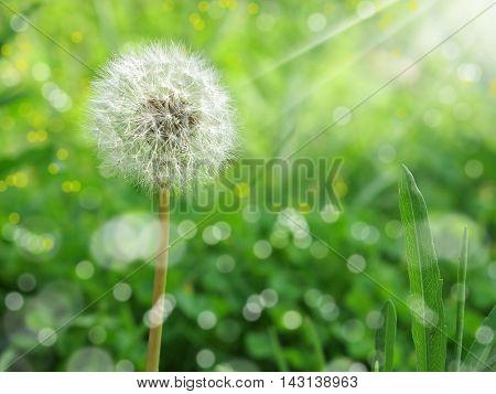 close up shot of dandelion on green field