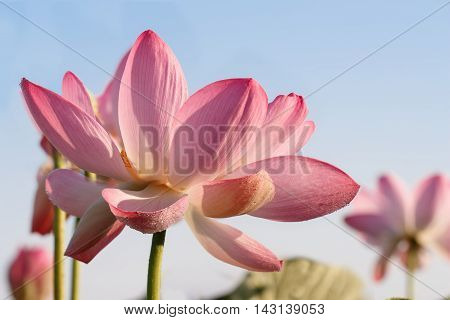 Towards the sun. Caspian lotus (Nelumbo caspica) blossom in Volga delta. Astrakhan region Caspian sea Russia