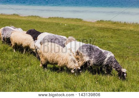 Sheep Grazing On Green Pasture