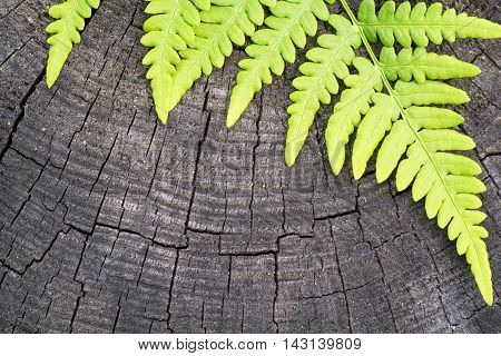the isolated green leaf of a fern on an old wooden stump closeup and a blank space