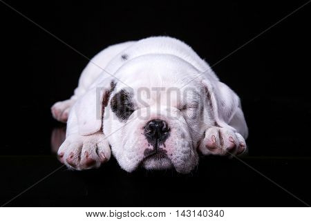 bull dog puppy lying in black background