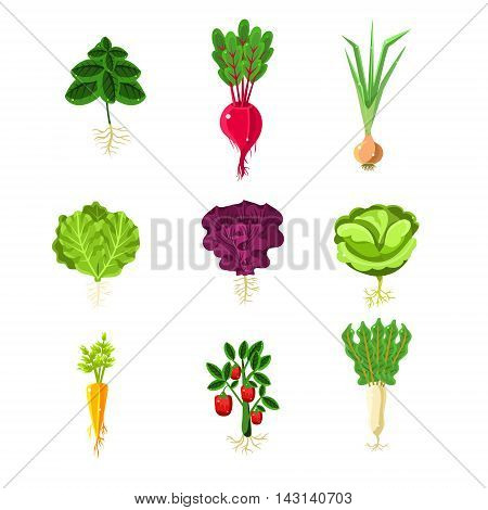 Fresh Vegetables With Roots Primitive Illustrations Set.Flat Bright Color Vector Icons Isolated On White Background.