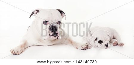 bull dogs father and son lying in white studio front side