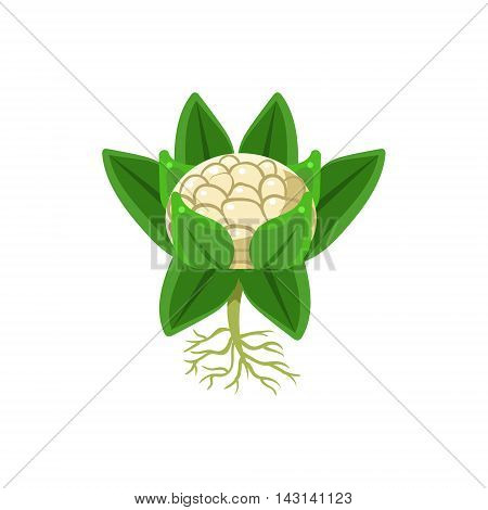 Fresh Cauliflower Primitive Realistic Illustration. Flat Bright Color Vector Icon Isolated On White Background.