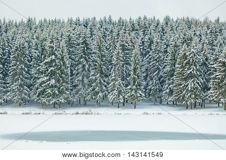 Winter Spruces