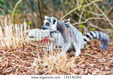 Ring-tailed lemur aka Lemur catta with small cub close up with copy space