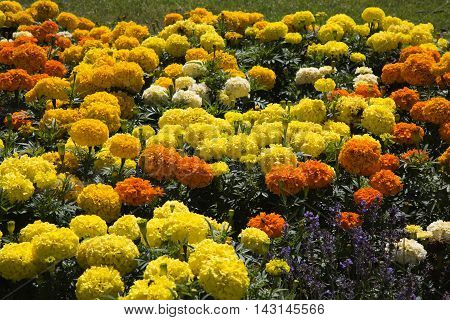 yellow and orange chrysanthemum flowers in a field in nature bright sun